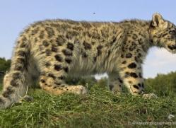 snow-leopard-cub3074-hertfordshire-copyright-photographers-on-safari-com