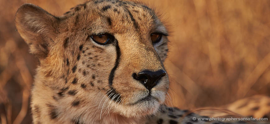cheetah-4358-botswana-copyright-photographers-on-safari-1