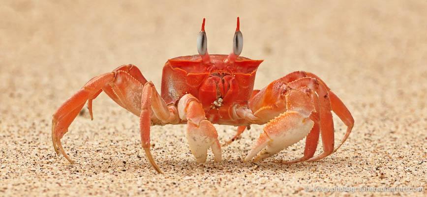 ghost-crab-1800-galapagos-copyright-photographers-on-safari-com-1