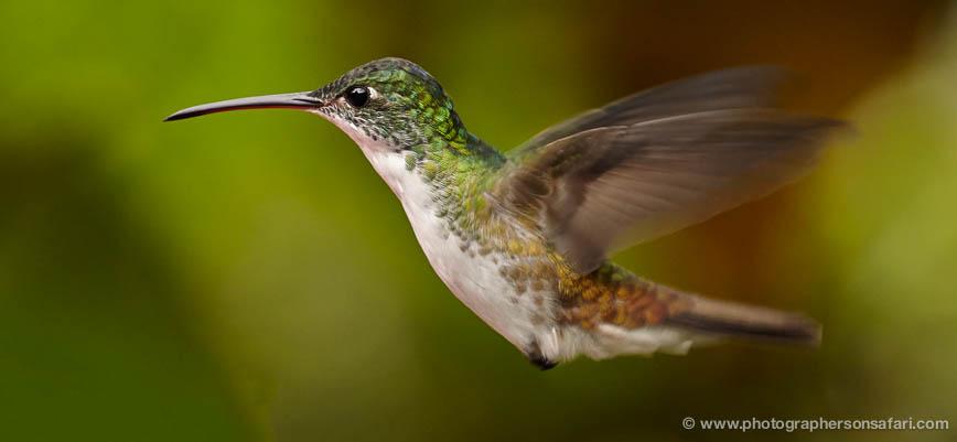 hummingbird-ecuador-1917-copyright-photographers-on-safari-com-1