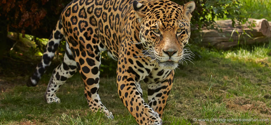 jaguar-whf-2390-copyright-photographers-on-safari-com-1