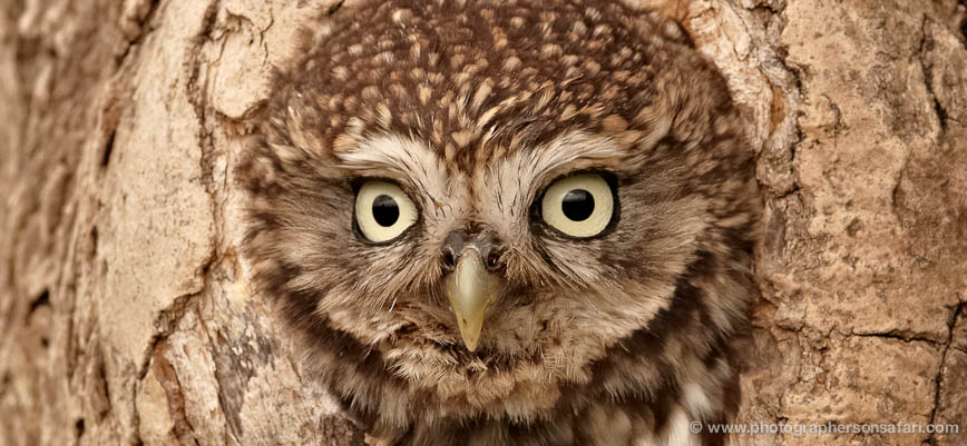 little-owl-4171-northumberland-copyright-photographers-on-safari-com-1