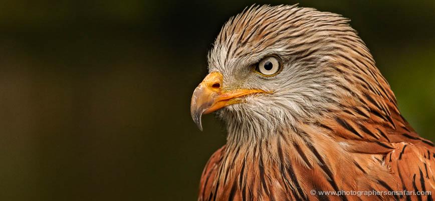red-kite-558-bedford-copyright-photographers-on-safari-com-1