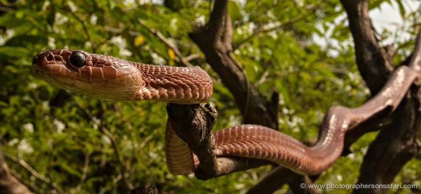 snake-sri-lanka-2848-copyright-photographers-on-safari-com-1