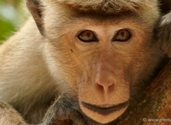 macaque-sri-lanka-2910-copyright-photographers-on-safari-com-1