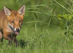 red-fox-cub-british-wildlife-2711-copyright-photographers-on-safari-com-1