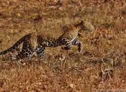 Asian Leopard 2015-3copyright-photographers-on-safari-com