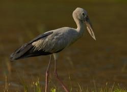 Asian Open Billed Stork 2015 -1copyright-photographers-on-safari-com