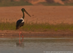 Black Necked Stork 2015 -1copyright-photographers-on-safari-com
