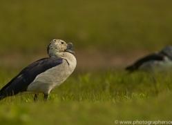 Comb Duck 2015 -4copyright-photographers-on-safari-com