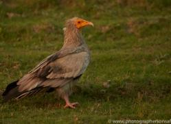 Egyptian Vulture 2015 -1copyright-photographers-on-safari-com