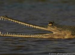 Gharial 2015 -10copyright-photographers-on-safari-com