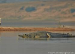 Gharial 2015 -7copyright-photographers-on-safari-com