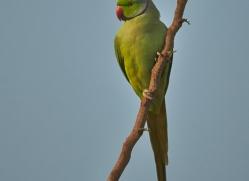 Rose Ringed Parakeet 2015 -1copyright-photographers-on-safari-com