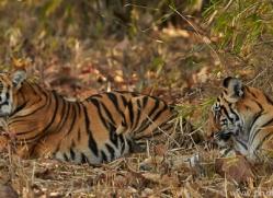 Tiger 2015-19copyright-photographers-on-safari-com