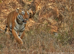 Tiger 2015-21copyright-photographers-on-safari-com