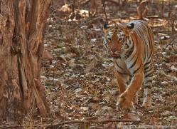Tiger 2015-34copyright-photographers-on-safari-com