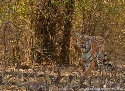 Tiger 2015-45copyright-photographers-on-safari-com