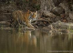 bengal-tiger-india-1465-copyright-photographers-on-safari-com