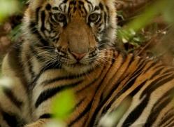 bengal-tiger-india-1475-copyright-photographers-on-safari-com