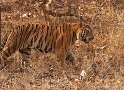 bengal-tiger-india-1479-copyright-photographers-on-safari-com