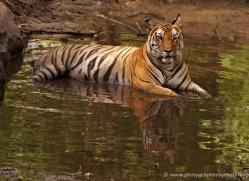 bengal-tiger-india-1485-copyright-photographers-on-safari-com