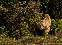 bengal-tiger-india-1488-copyright-photographers-on-safari-com