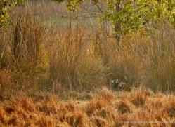 bengal-tiger-india-1490-copyright-photographers-on-safari-com