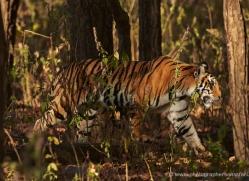 bengal-tiger-india-1491-copyright-photographers-on-safari-com