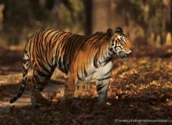 bengal-tiger-india-1493-copyright-photographers-on-safari-com