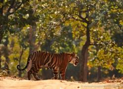bengal-tiger-india-1496-copyright-photographers-on-safari-com