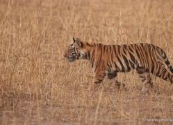 bengal-tiger-india-1498-copyright-photographers-on-safari-com
