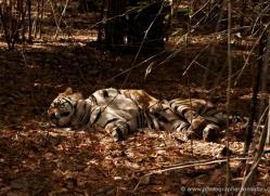 bengal-tiger-india-1501-copyright-photographers-on-safari-com