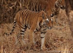 bengal-tiger-india-1504-copyright-photographers-on-safari-com