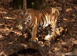 bengal-tiger-india-1506-copyright-photographers-on-safari-com