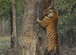 bengal-tiger-india-1516-copyright-photographers-on-safari-com