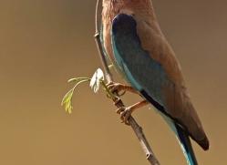 india-n-roller-india-1426-copyright-photographers-on-safari-com