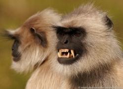 langur-monkey-india-1375-copyright-photographers-on-safari-com