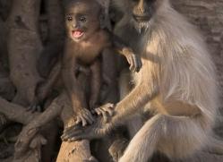 langur-monkey-india-1379-copyright-photographers-on-safari-com