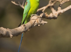 plum-headed-parakeet-india-1448-copyright-photographers-on-safari-com