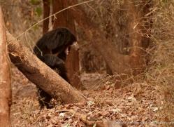 sloth-bear-india-1410-copyright-photographers-on-safari-com