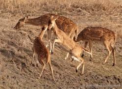 spotted-deer-chital-india-1397-copyright-photographers-on-safari-com