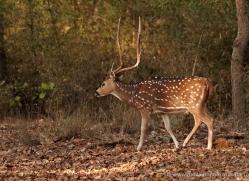 spotted-deer-chital-india-1398-copyright-photographers-on-safari-com