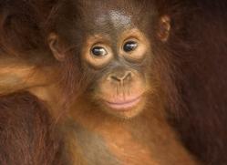 orangutan-3357-borneo-copyright-photographers-on-safari-com