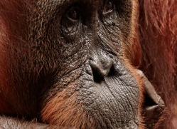 orangutan-3390-borneo-copyright-photographers-on-safari-com