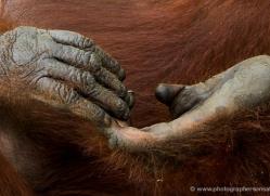 orangutan-3466-borneo-copyright-photographers-on-safari-com