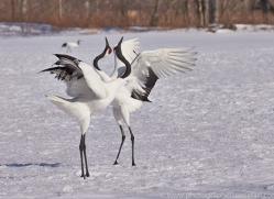red-crowned-crane-japan5634copyright-photographers-on-safari-com