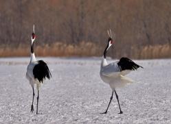 red-crowned-crane-japan5666copyright-photographers-on-safari-com