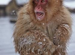 snow-monkey-japan5728copyright-photographers-on-safari-com