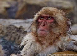 snow-monkey-japan5746copyright-photographers-on-safari-com